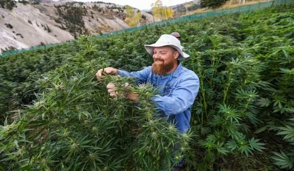 marijuana cannabis illinois
